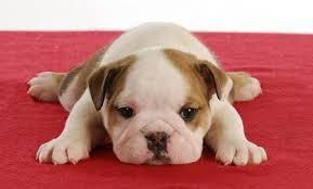 cute english bulldog puppy. Unique Puppy Cute English Bulldog Puppy Laying Down On Red Blanket  5 Weeks Old Stock  Photo Inside Cute English Bulldog Puppy L