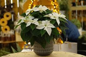 Herbststern Princettia Pearl Weiß Weihnachtsstern Euphorbia Pulch 12cm Topf 20 30cm