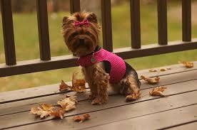 Dog Harness Pattern Cool Little Dog Harness Tutorial Dog Under My Desk