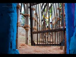 jallikattu is animal abuse and machismo packaged as tamil culture a bull waits its turn at the gate to the palamedu jallikattu in madurai credit