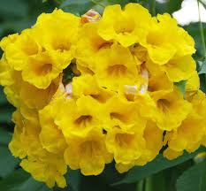 Beautiful Yellow Flowers In India Their Common Names Flickr