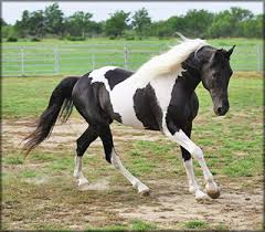 black and white paint horses running. Delighful Running Photo By Bob Langrish Of England On Black And White Paint Horses Running R