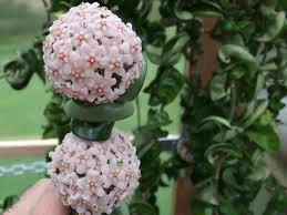 Hoya compacta - Hindu Rope Plant