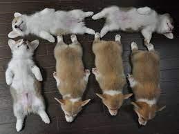 Why buy a corgi puppy for sale if you can adopt and save a life? 6 Corgi Puppies Sleep Their Way Into Your Heart Sleeping Puppies Cute Corgi Puppy Cute Corgi