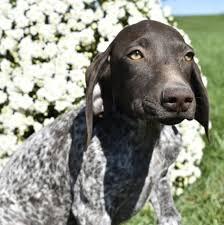 laikyn german shorthaired pointer puppy