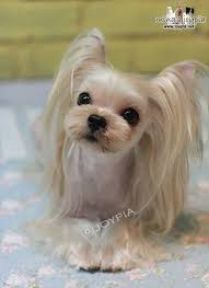 contrasts are everything when it es to hairstyles dog cuts are not an exception this yorkie haircut involves closely shaved body and long hair on the