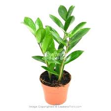 small office plant. Good Office Plants Indoor Money Plant Small Like A