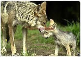 grey wolf size