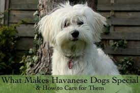 Havanese Growth Chart Havanese Dog Temperaments And Care Pethelpful