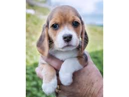 beagle puppies. Beautiful Beagle First Of 35 Rescued Beagle Puppies Get Forever Families For