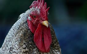 is the rooster its thuggish ways a domestic animal  is the rooster its thuggish ways a domestic animal essays