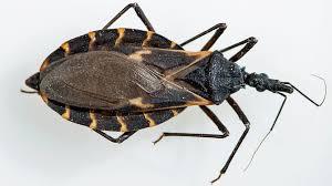 5 Identifying Kissing Bugs Hidden Similar From Threat Nbc OBa7f