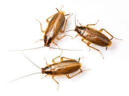 How To Get Rid Of Roaches For Good Fast Naturally