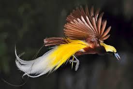 Burung jantan adalah berwarna merah dan hitam dengan jubah kuning di leher mulut hijau muda kaki biru dan dua bulu ekor berwarna ungu yang melengkung. Pertanyaan Tentang Burung Cendrawasih Inilah Kunci Jawaban Buku Tematik Kelas 4 Sd Tema 3 Subtema 2 Halaman 47 53 Semua Halaman Fotokita
