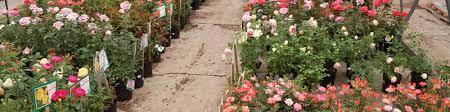 denver garden centers. Wide Range Of Rose Plants In Denver, CO Denver Garden Centers