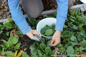 fall garden vegetables. woman harvesting spinach from garden bed fall vegetables