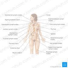 Axillary Lymph Nodes Definition Anatomy And Location Kenhub