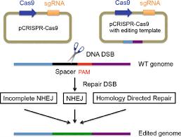 Genome Editing Crispr Cas9 Schematics Crispr Cas9 Genome Editing Working Model