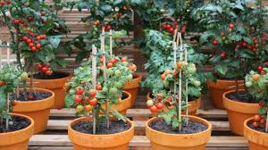 container gardening. Container Gardening With Tomatoes Simple Steps For Growing - Tips M