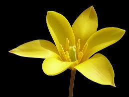 yellow flower with black background