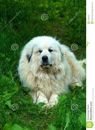 great pyrenees dog house plans beautiful great pyrenees dog royalty free stock graphy image