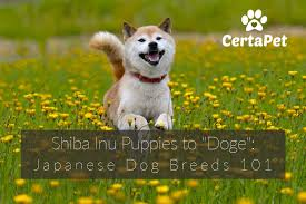 dodge dog breed. Perfect Breed Shiba Inu Puppies To Doge Japanese Dog Breeds 101 Intended Dodge Breed