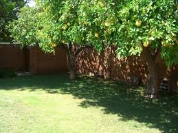 Image result for citrus plants