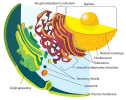Endoplasmic Reticulum Endoplasmic Reticulum Definition Function And Structure
