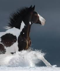 paint horses running in a field. Simple Paint American Paint Horse Running Gallop Across A Winter Snowy Field Side View  Close Up With Horses Running In A Field E