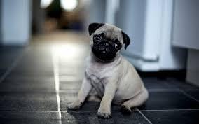 pug puppies ipad wallpaper. Delighful Puppies 2560x1600  On Pug Puppies Ipad Wallpaper