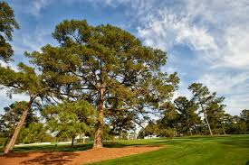 A view of the iconic Eisenhower Tree on Augusta National's 17th ...