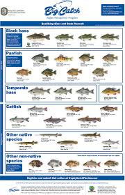 florida fish chart trophy catch angler recognition programs florida go fishing