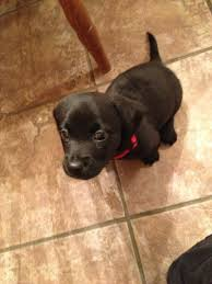 jack russell terrier mix black. Beautiful Mix A Black Jack Lab And Jack Russell Mixu003d In Terrier Mix S