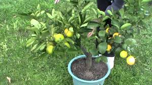 Olive Trees For Sale  Buy Olive Trees For Sale  Fast Growing TreesFruit Salad Trees Usa