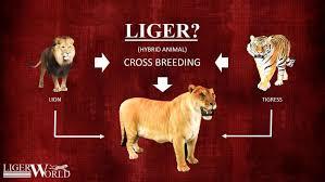 liger crossbreeding lion tigress facts about cross breeding of male lion and female tigress