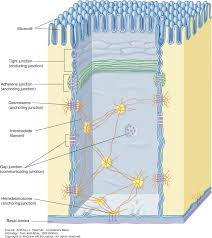 Classification Of Covering And Lining Membranes Complete The Following Chart Epithelial Tissue Junqueiras Basic Histology Text And