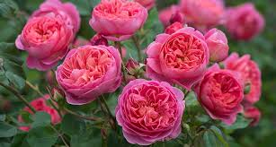 please join rohsler s as we welcome rebecca reed u s s executive with david austin roses renowned garden writer and garden designer as she discusses