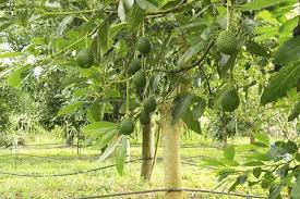 Buy Mulberry Trees From Stark Brou0027s  Mulberry Trees For SaleFruit Trees For Sale In Nc