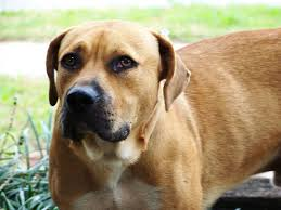 although the blackmouth cur is most ociated with the big thicket of east texas the breed s versatility makes it por with stockmen hunters