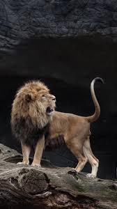 Download wallpaper 1440x2560 lion ...