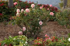 Small Picture Rose Garden Design and Installation in Santa Barbara
