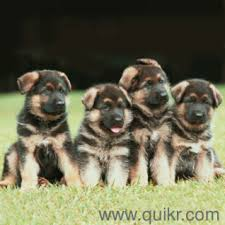 show quality male puppies are available for