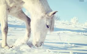 white horses in snow. Exellent Horses With White Horses In Snow O