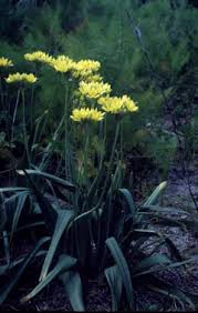 Allium moly Golden Garlic, Ornamental Onion PFAF Plant Database