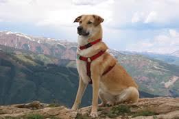 Ποια είναι τα χαρακτηριστικά του σκύλου Chιnοok;