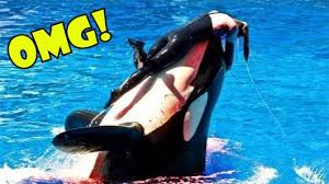 killer whale attacks on humans. Brilliant Whale Killer Whale Nearly Kills Experienced Trainer At SeaWorld  New 2017 Throughout Attacks On Humans K