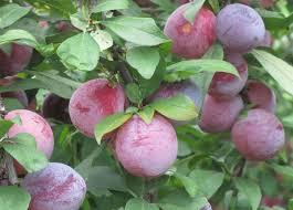 Pruning Guide Shrubs U0026 Select Fruit Trees  Southern ExposurePlum Fruit Tree Varieties