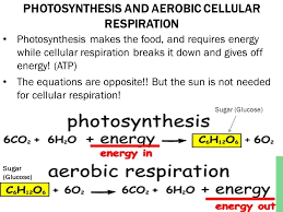 photosynthesis and aerobic cellular respiration photosynthesis makes the food and requires energy while cellular respiration