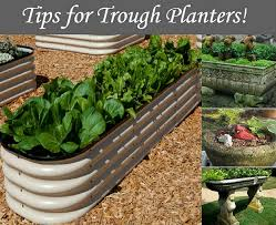 tips for trough planters a trough or stock tank