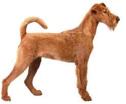 Irish Terrier Irish Terrier Photo Puzzle
